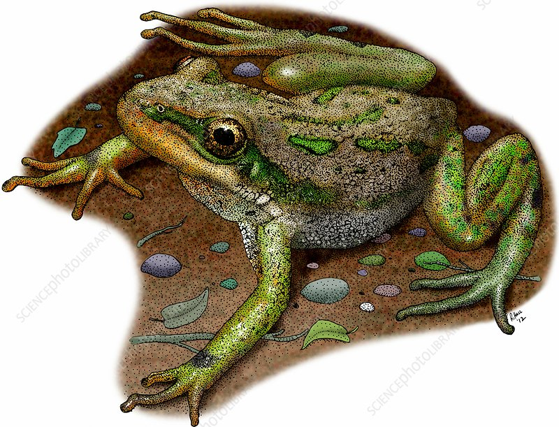 Boreal chorus frog, Illustration
