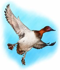 Canvasback duck, Illustration