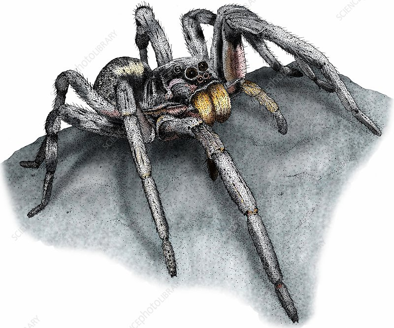 Carolina wolf spider, Illustration
