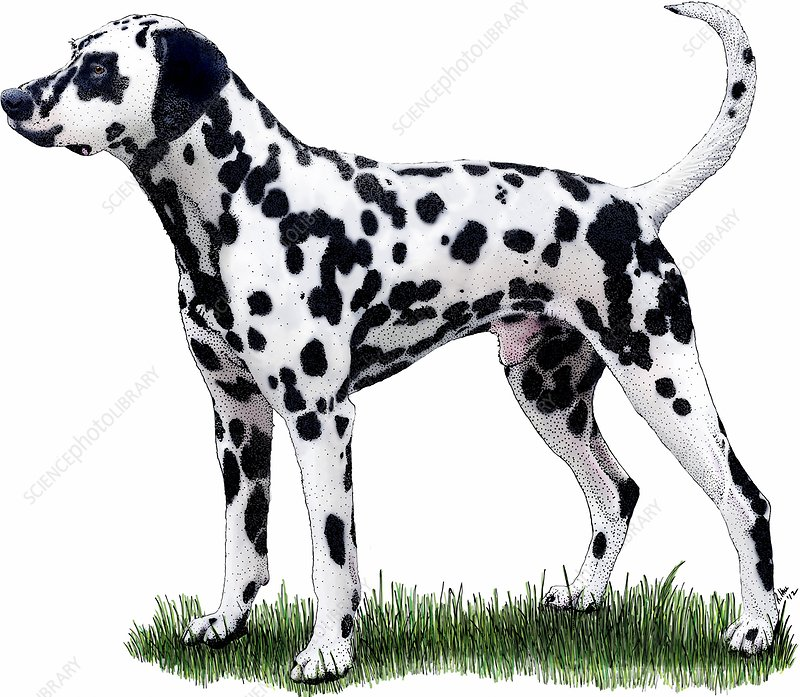 Dalmatian Dog, Illustration