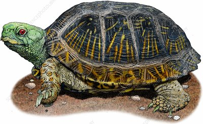Desert box turtle, Illustration