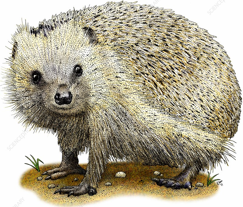 European hedgehog, Illustration