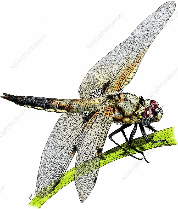Four spot skimmer dragonfly, Illustration