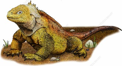 Galapagos land iguana, Illustration