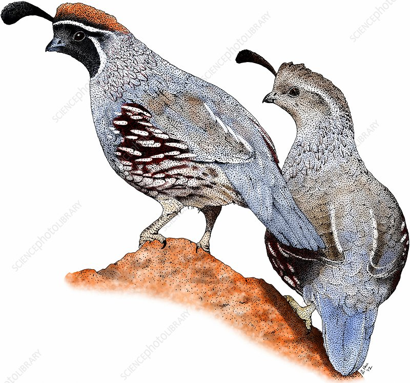 Gambel's quail, Illustration