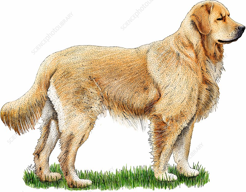 Golden retriever, Illustration