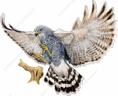 Gray hawk, Illustration