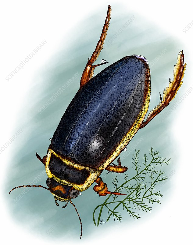 Great diving beetle, Illustration
