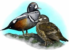 Harlequin ducks, Illustration