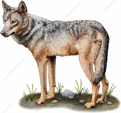 Iberian wolf, Illustration