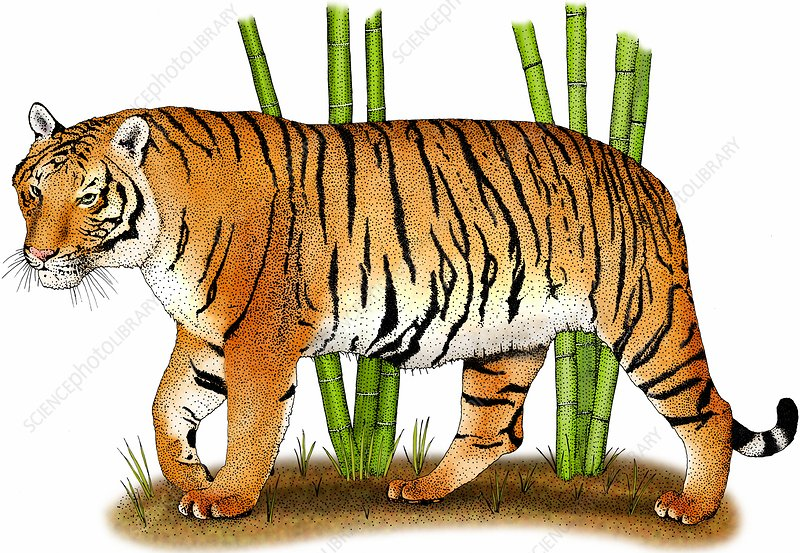 Indochinese tiger, Illustration