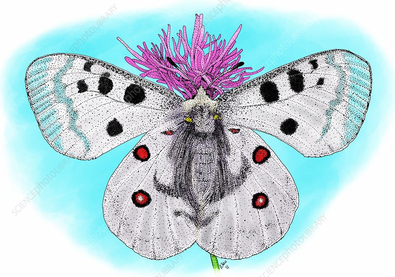 Mountain apollo butterfly, Illustration