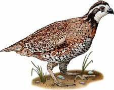 Northern bobwhite quail, Illustration