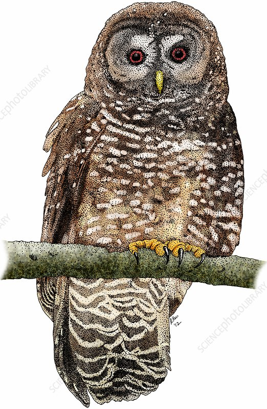 Northern spotted owl, Illustration