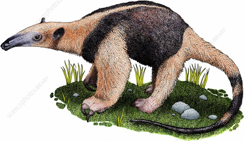Northern tamandua anteater, Illustration