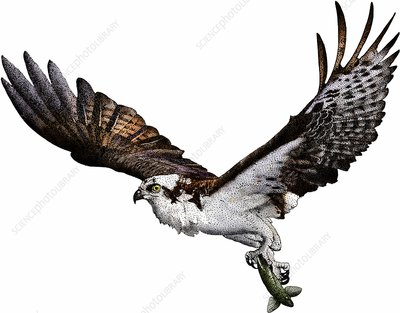 Osprey, Illustration