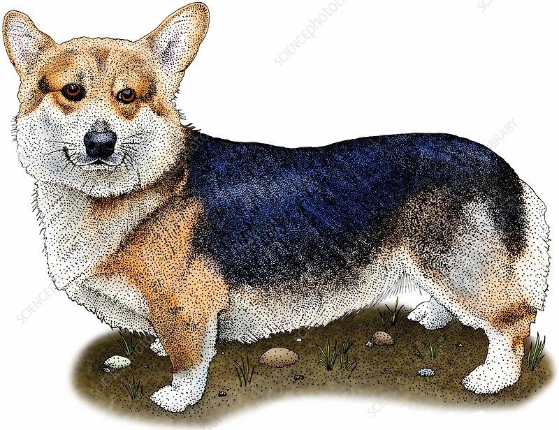 Pembroke welsh corgi, Illustration