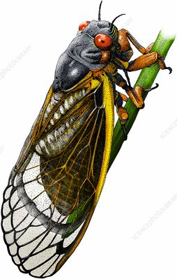 Periodical cicada, Illustration