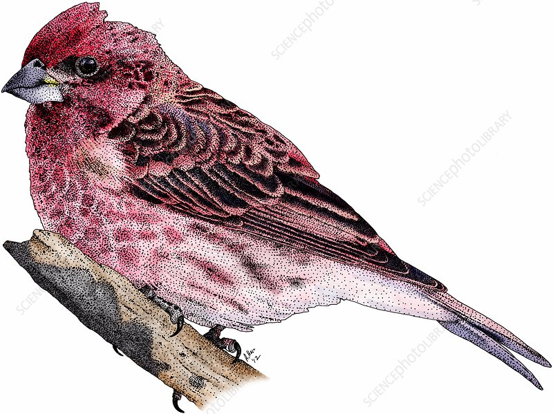 Purple finch, Illustration