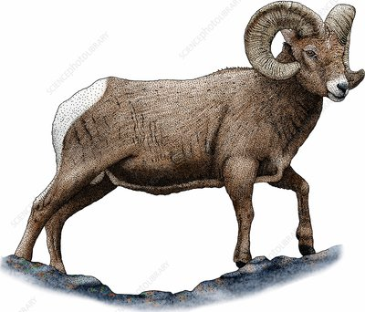Bighorn sheep, Illustration