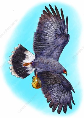 Snail kite, Illustration