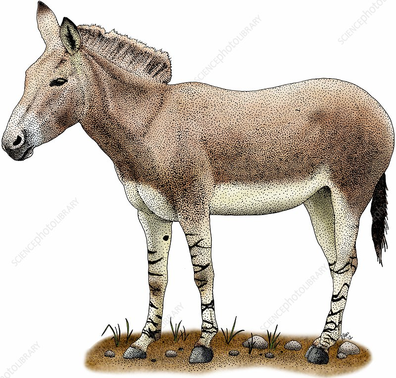 Somali wild donkey, Illustration
