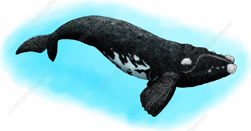 Southern right whale, Illustration
