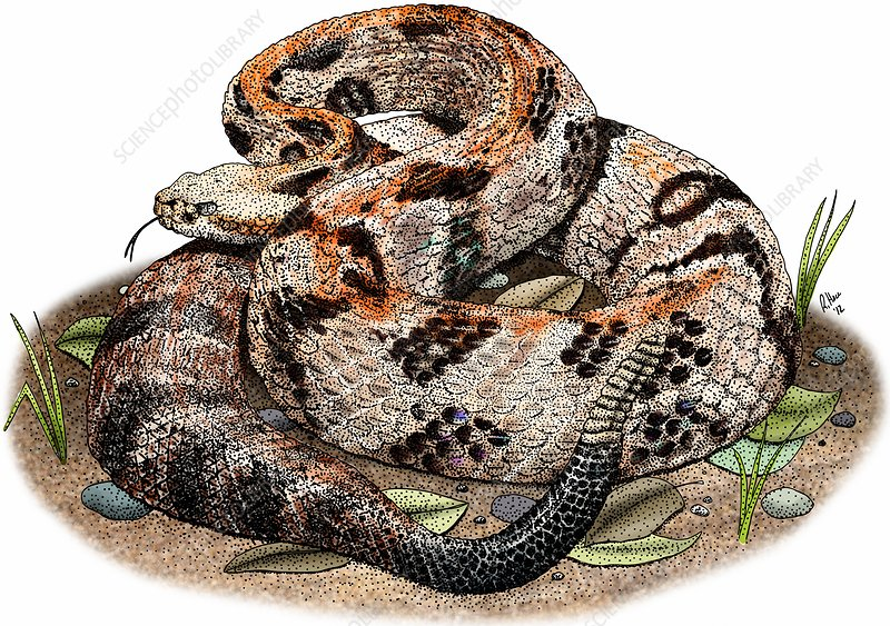 Timber rattlesnake, Illustration
