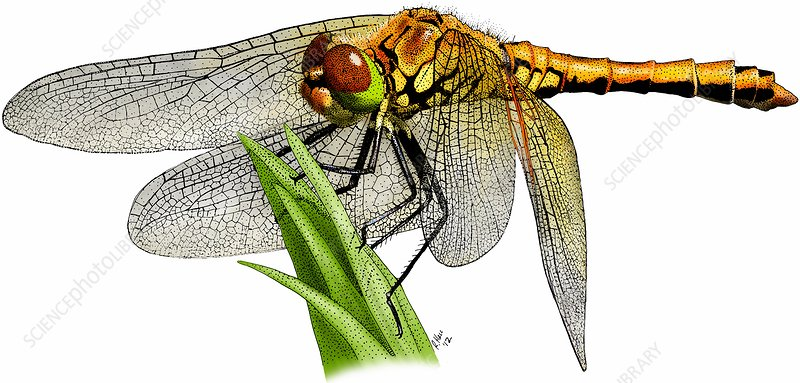 Meadowhawk dragonfly, Illustration