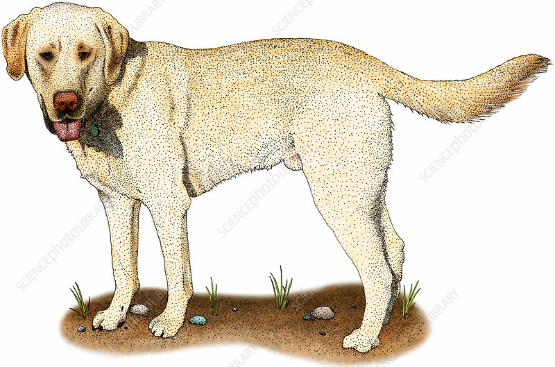 Yellow labrador retriever, Illustration