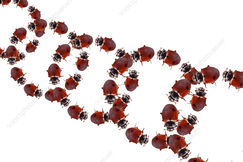 Ladybugs, Illustration