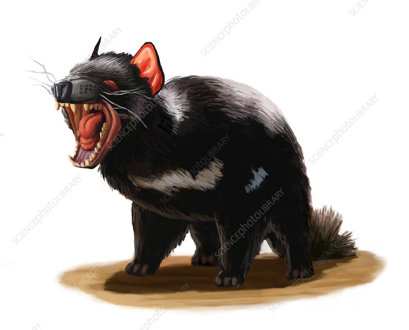 Tasmanian Devil, Illustration