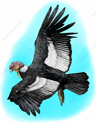 Andean Condor, Illustration