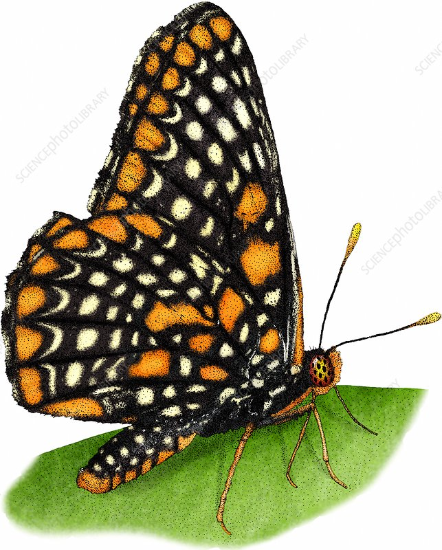 Checkerspot Butterfly, Illustration
