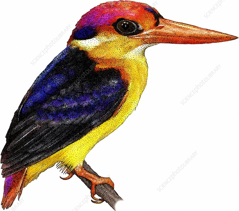 Black-backed Kingfisher, Illustration