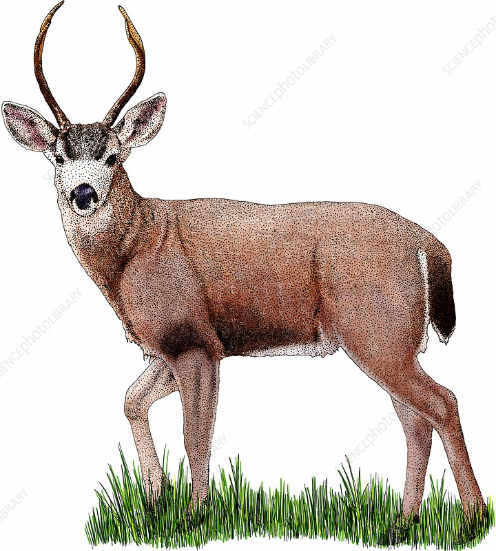 Black-tailed Deer, Illustration