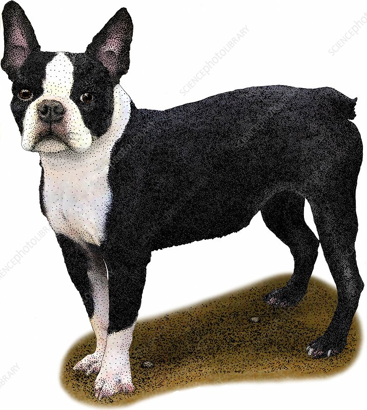 Boston Terrier, Illustration