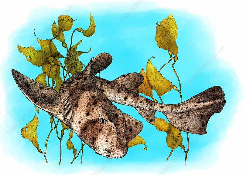California Horn Shark, Illustration