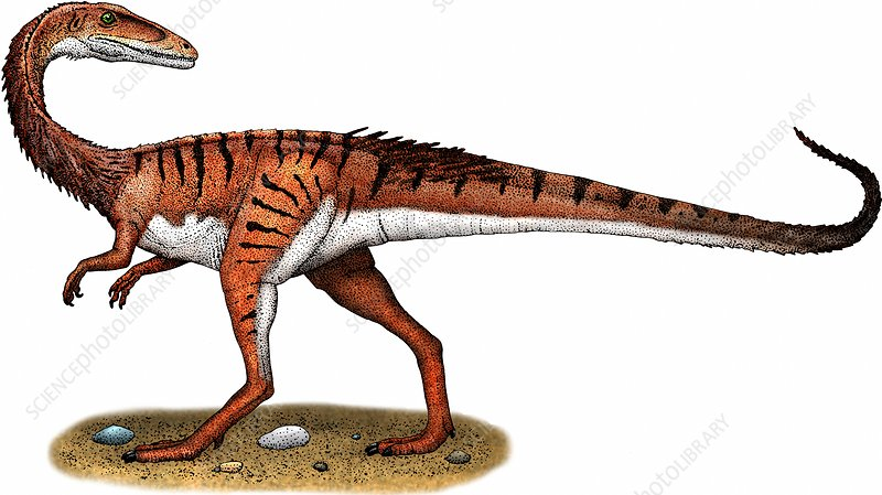 Coelophysis, Illustration