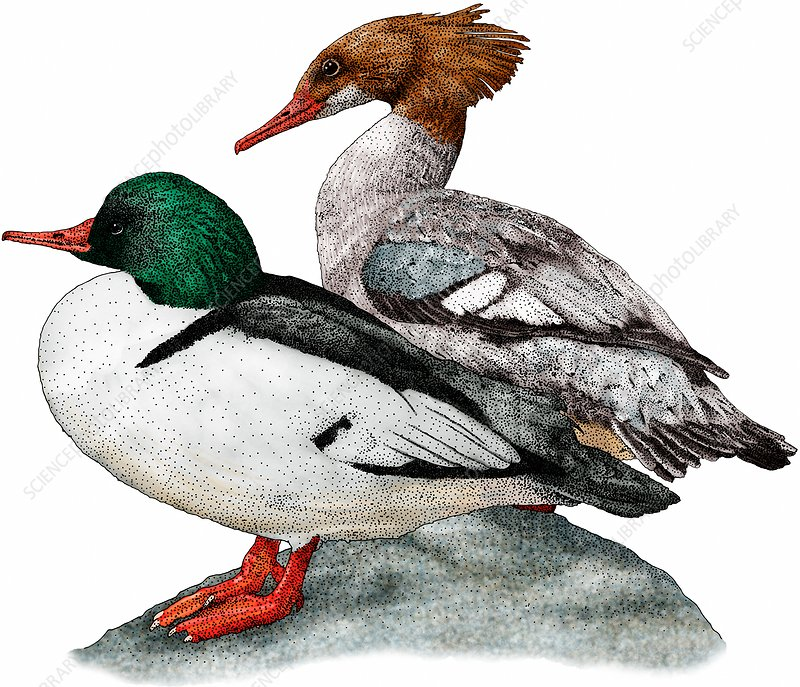 Common Mergansers, Illustration