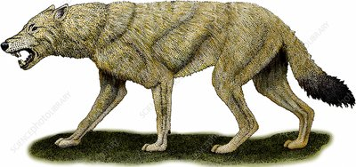 Dire Wolf, Illustration