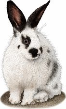 Domestic Rabbit, Illustration
