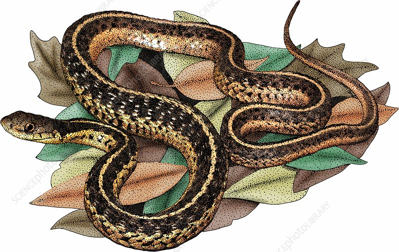Eastern Garter Snake, Illustration