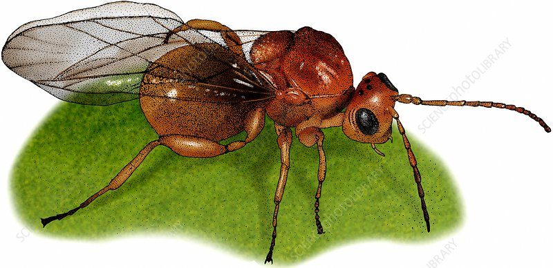Gall Wasp, Illustration