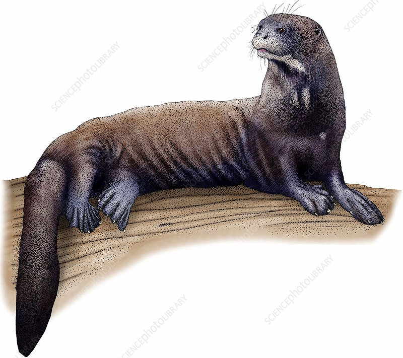 Giant River Otter, Illustration