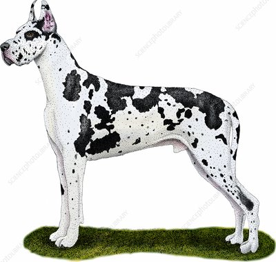 Great Dane, Illustration