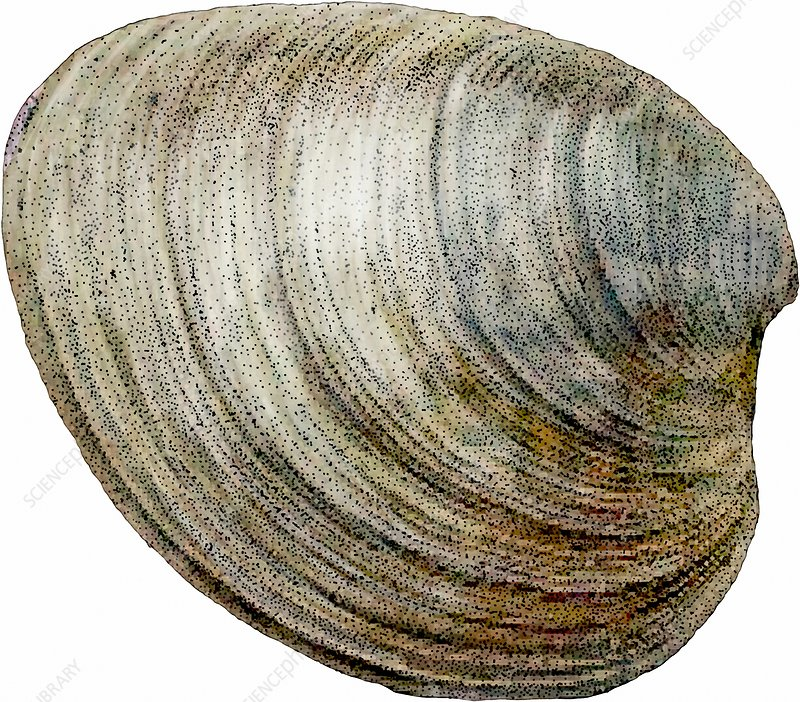 Hard Clam, Illustration