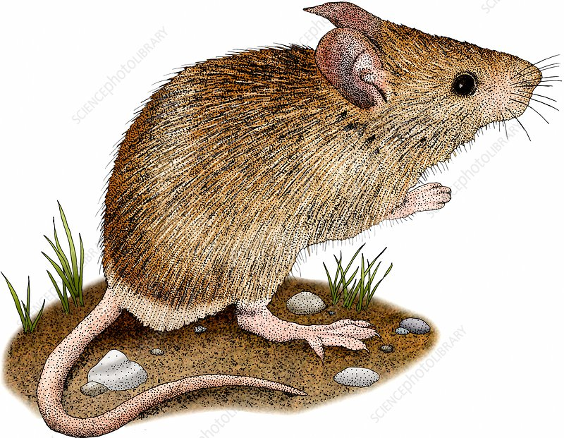 House Mouse, Illustration