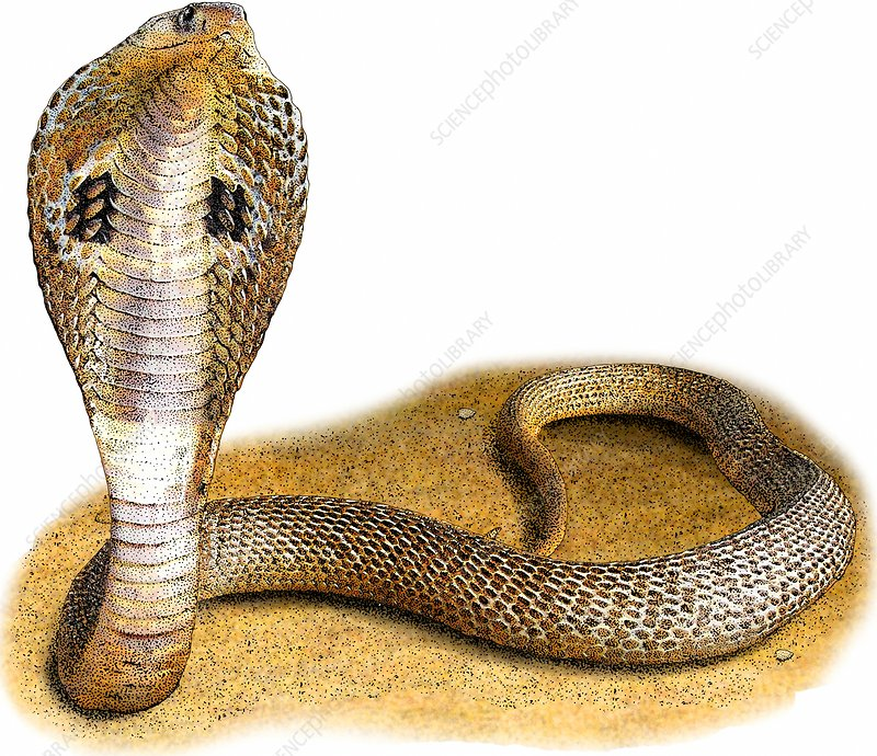 Indian Cobra, Illustration