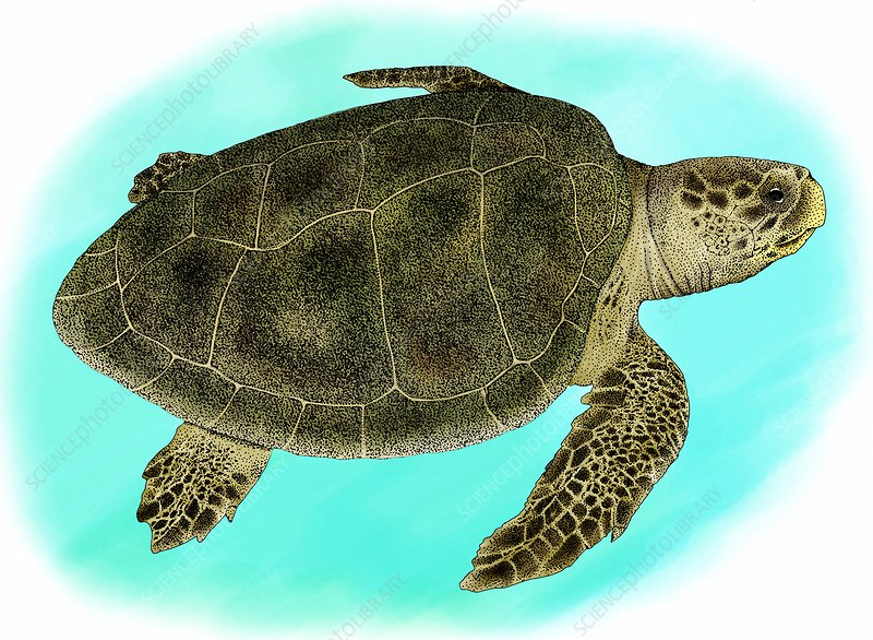 Kemp's Ridley Sea Turtle, Illustration